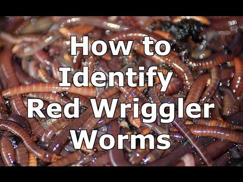 How to Identify Wild Red Wiggler Worms - Eisenia Fetida
