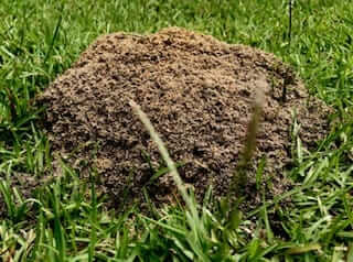 Ants aerate clay soil by creating networks of tunnels under the ground.