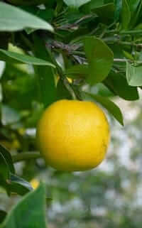 My oranges grow as big as grapefruit despite the desert soil.