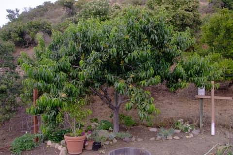 Citris tree.