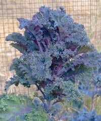 Kale growing in desert garden.