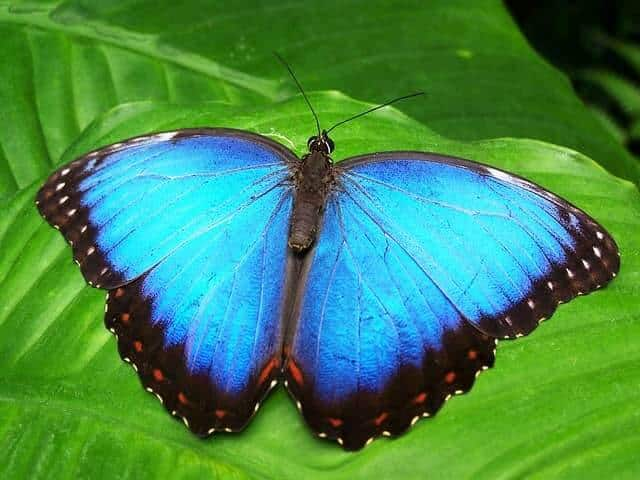 Are butterflies harmful to plants?