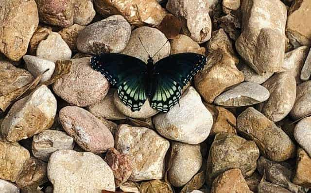 butterflies are not harmful to plants but their eggs can be.
