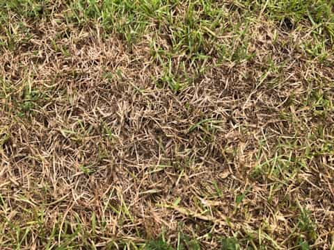 Centipede grass dying from drought due to compacted clay soil.