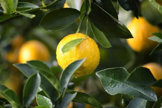 Why do lemons drop from tree?