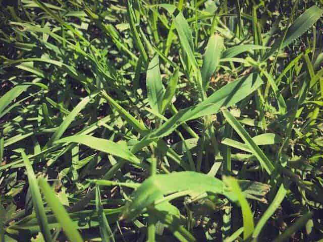 Can centipede grass choke out crabgrass?