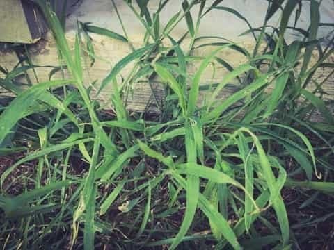 A proper herbicide approved for use on centipede grass can help to control crabgrass growth.