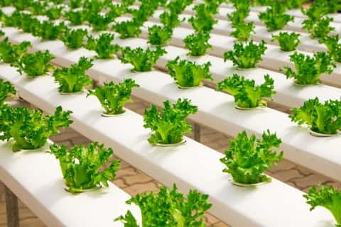 water-based growing systems like hydroponics offer solutions to harvesting without soil.