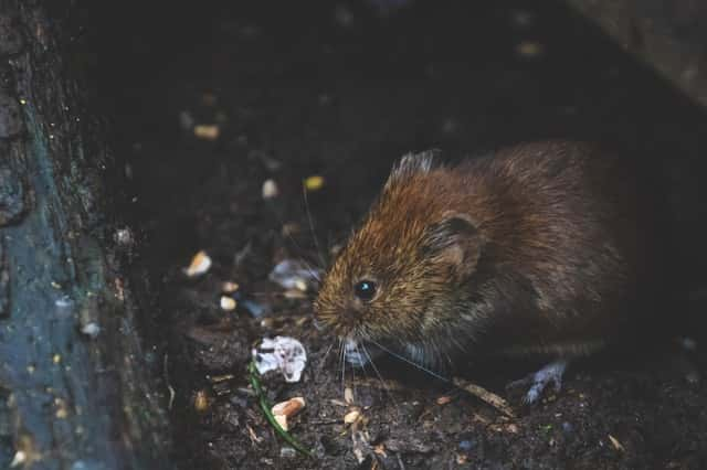 Do Worm Farms Attract Rats?