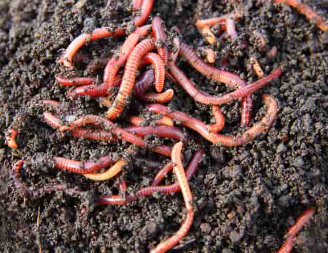 Can worms drown? Vermicomposting