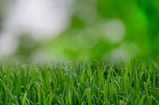 Can You Dethatch St. Augustine Grass? Let's Settle This!