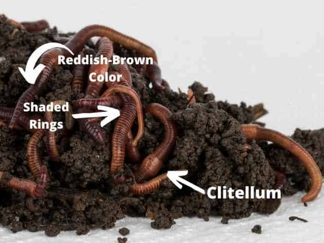 Identify red wiggler worms by their color, shaded rings around their bodies, and the Clitellum that is found on adults.