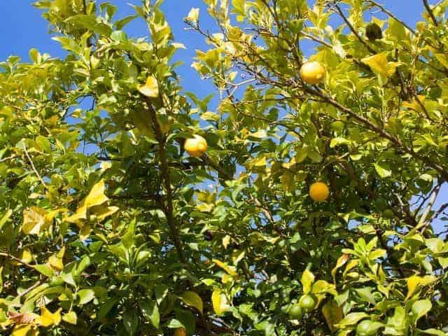 How Tall Do Lemon Trees Grow? Where Do They Grow Best?
