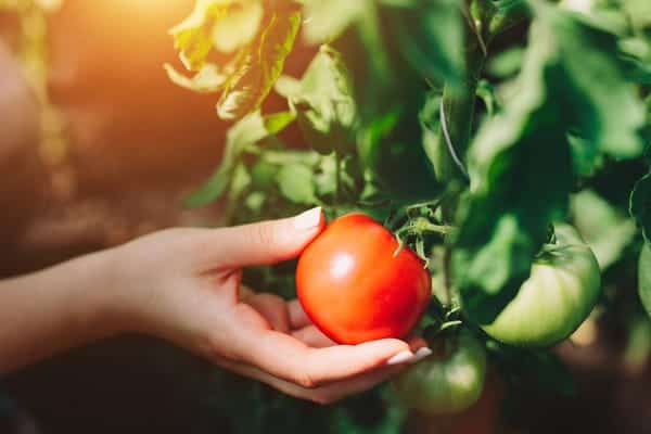 Growing fruiting vegetables indoors such as tomatoes can be challenging.