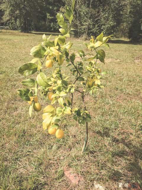 Varieties of lemon trees grow to varying heights.