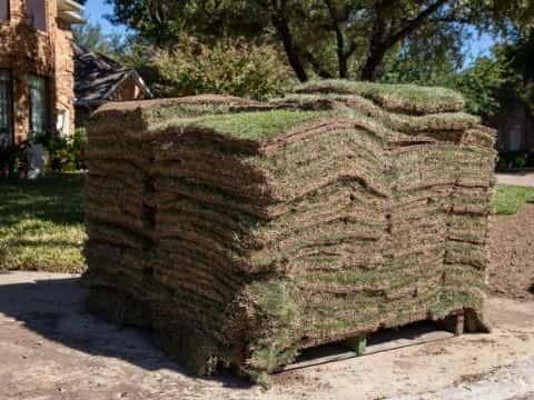 Zoysia can be grown using sod, plugs, or seed.