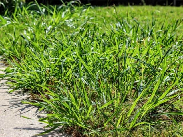 Will Zoysia Choke Out Crabgrass? Yes (With Your Help)