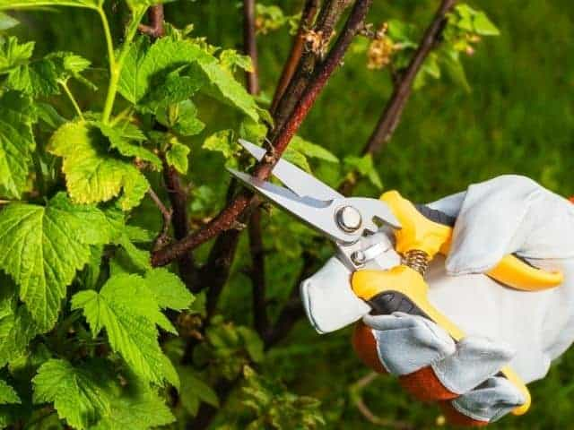 Can pruning cause plants to die?