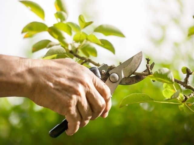 Does Pruning Stimulate Growth? You Need To Understand This!