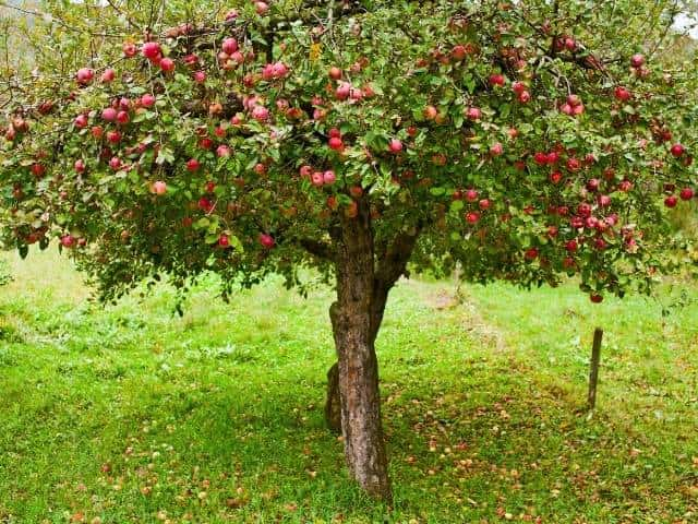 Tips for planting apple trees in the fall.