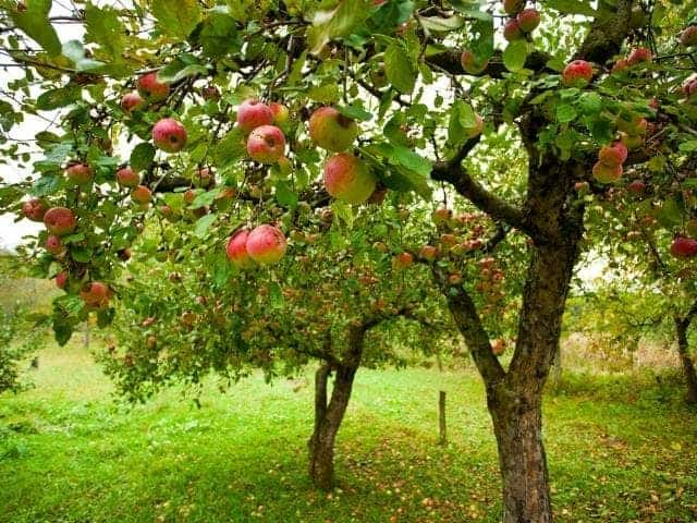 Do Apple Trees Need Full Sun?