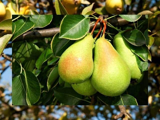 Pear trees and causes of losing leaves.
