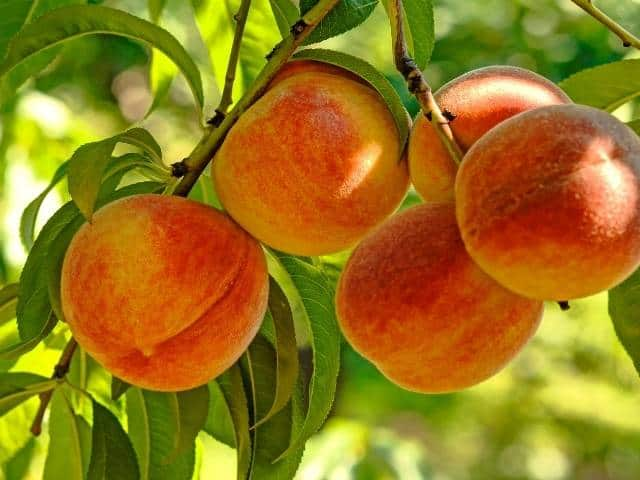 Tips for planting a peach tree in the fall.