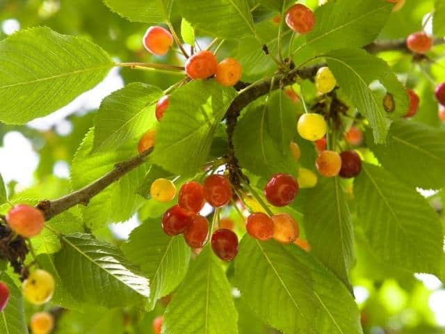 Can Cherry Trees Grow in the Shade? Critical Facts And Tips