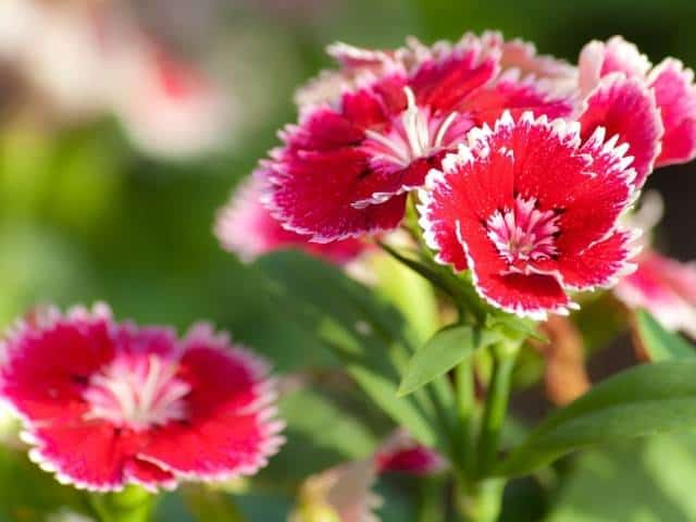 Dianthus is a hardy perennial that loves sun.