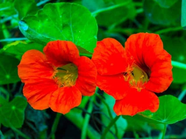 Spicy flavor and bursting with colors, Nasturtiums are a favorite of apartment growers who want blooming plants on their balcony.