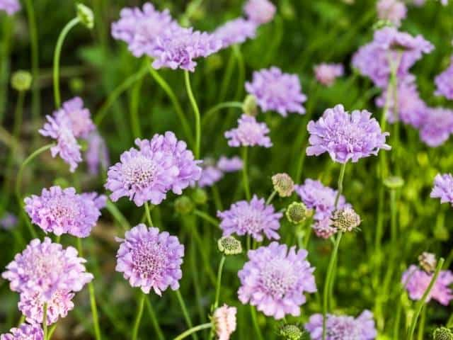 Scabiosa is a beatiful summer-blooming plant.