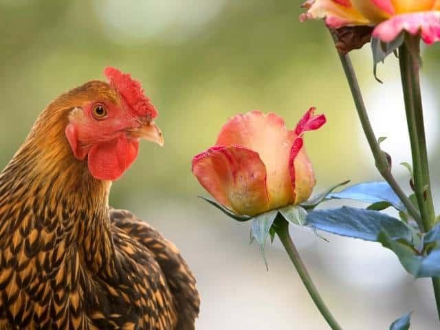 Using chicken manure for rose fertilizer.
