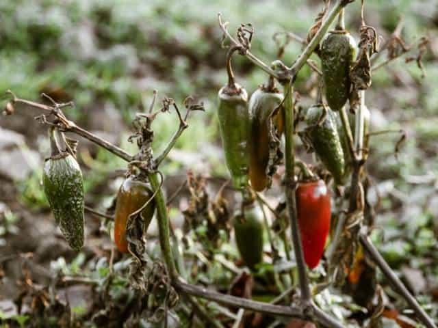 Do Pepper Plants Die in Winter?
