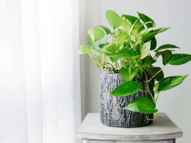 Pothos is an excellent indoor plant option requiring low light and minimal watering.