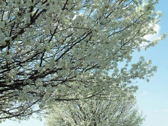 How to prevent a Bradford pear tree from splitting.