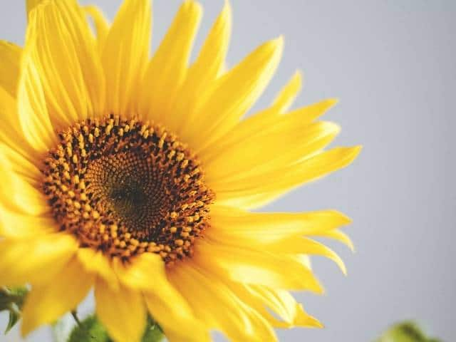 Edible and full of color, sunflowers are a simple flowering plant to grow.