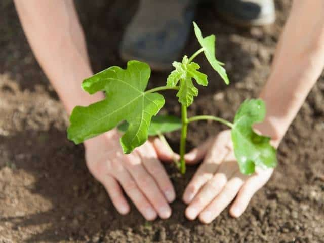 When to Transplant a Potted Fig Tree