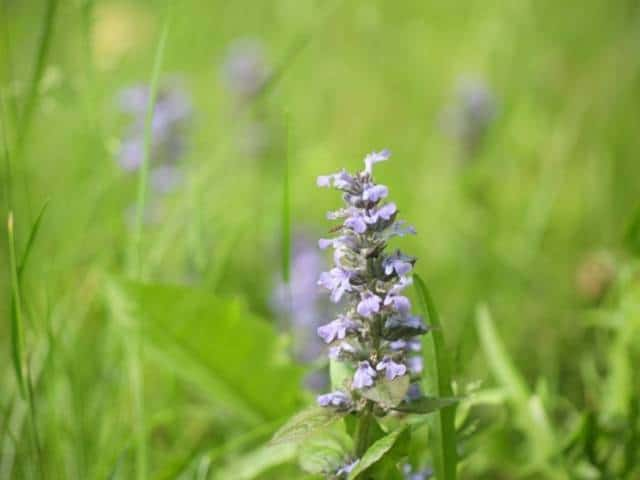 Ajuga reptans combine evergreen covering with colorful seasonal blooms.