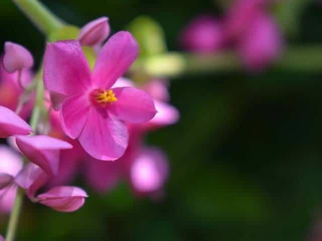 Coral Bells flowering evergreen plant.