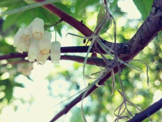 Florida Hobblebush offers both evergreen leaves and seasonal blooms.