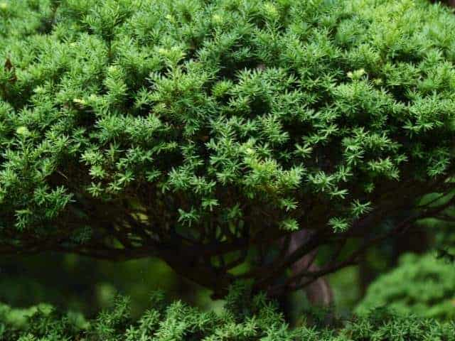 Anglo-Japanese Yew plant.