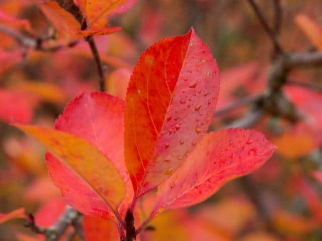 Red Chokeberry offers changing colors throughout every season.