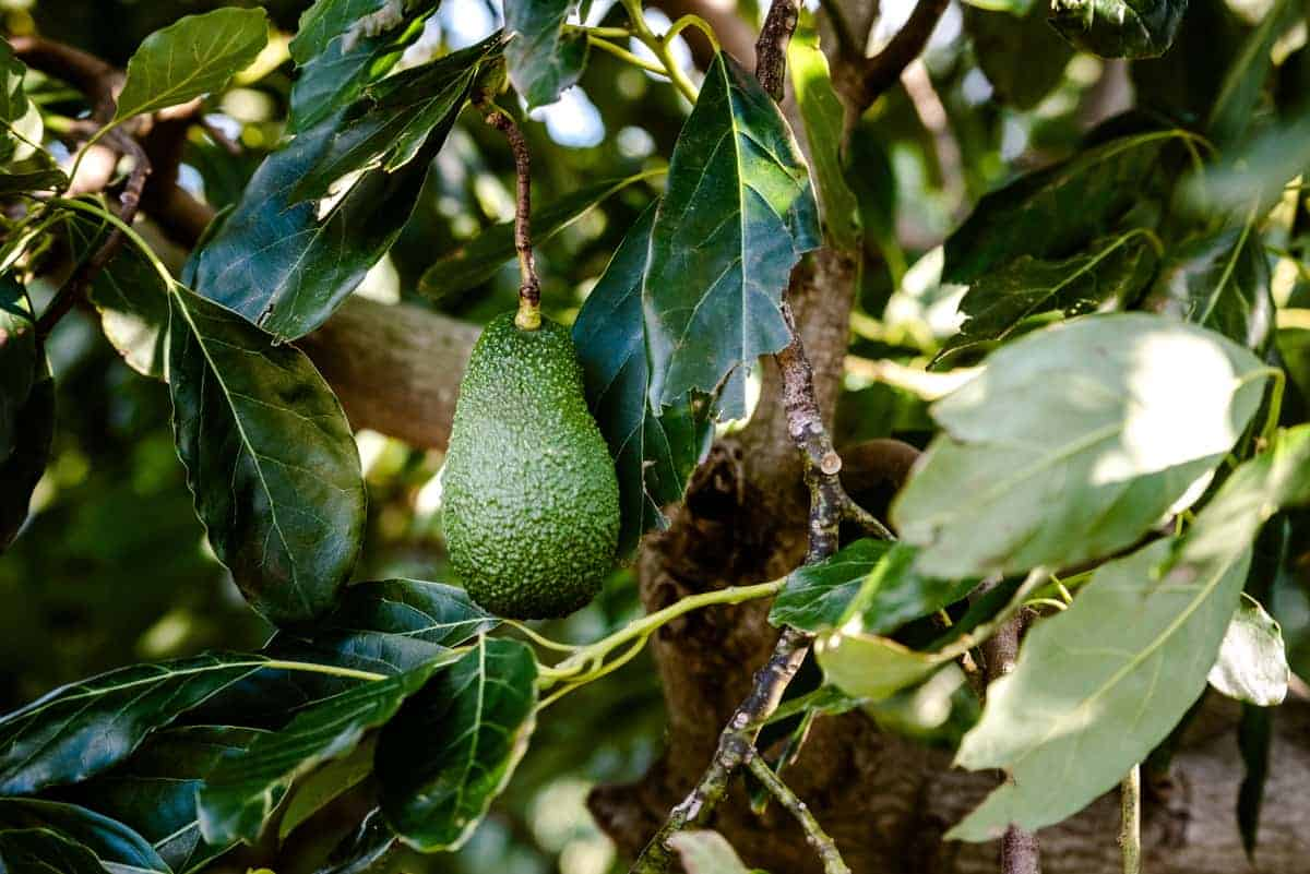 How to prevent bugs from eating avocado leaves.