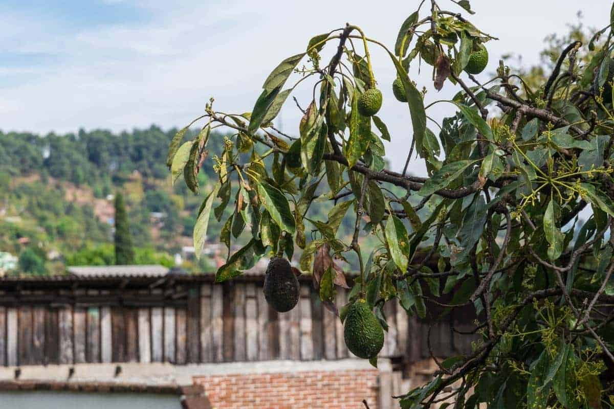 Reasons your avocado tree may be dying.