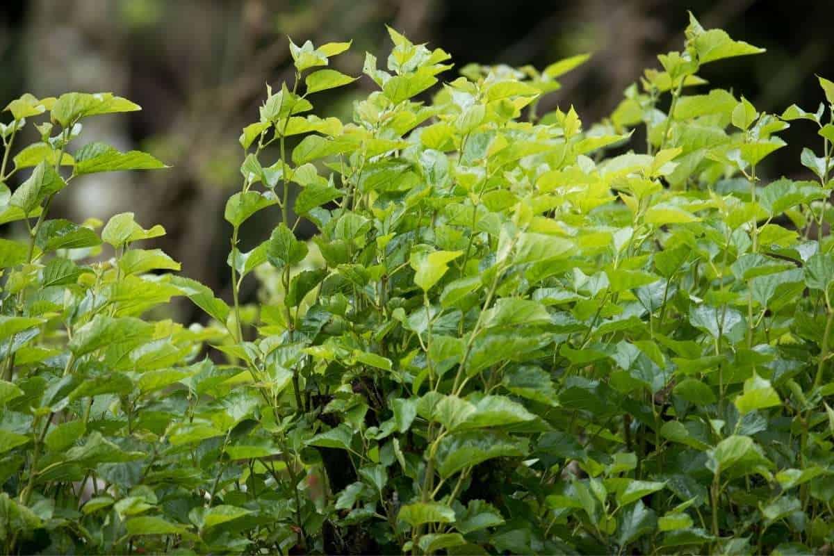 19 Shade-Tolerant or Shade-Loving Evergreens