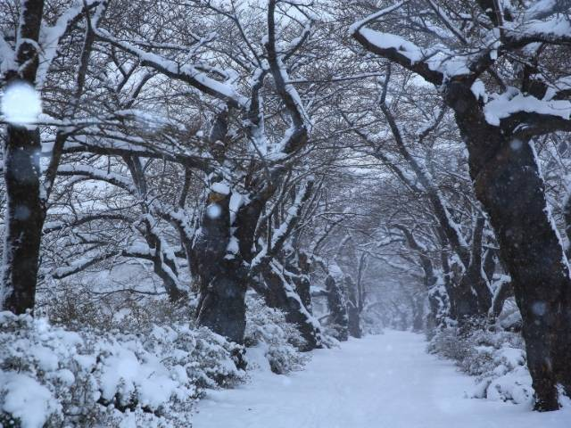 Cherry trees in winter: Can they survive?