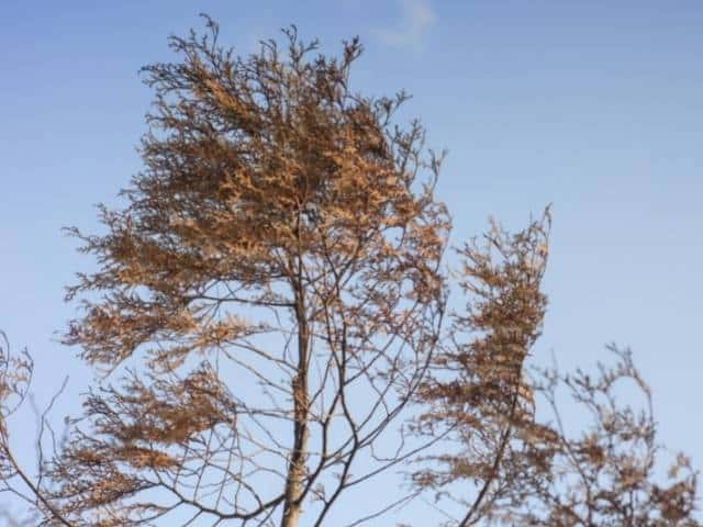 Pine tree turning brown from the top down. Causes and what to do.
