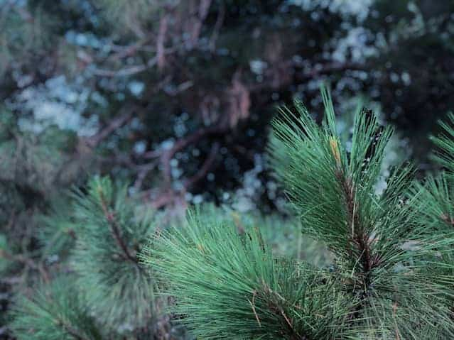 Pine Trees That Grow in Shade (And Other Evergreen Options)