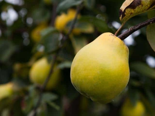 Quince trees grow well in zone 7b with proper planting and care.