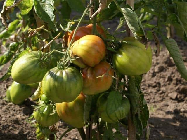 How to correctly ripen tomatoes.